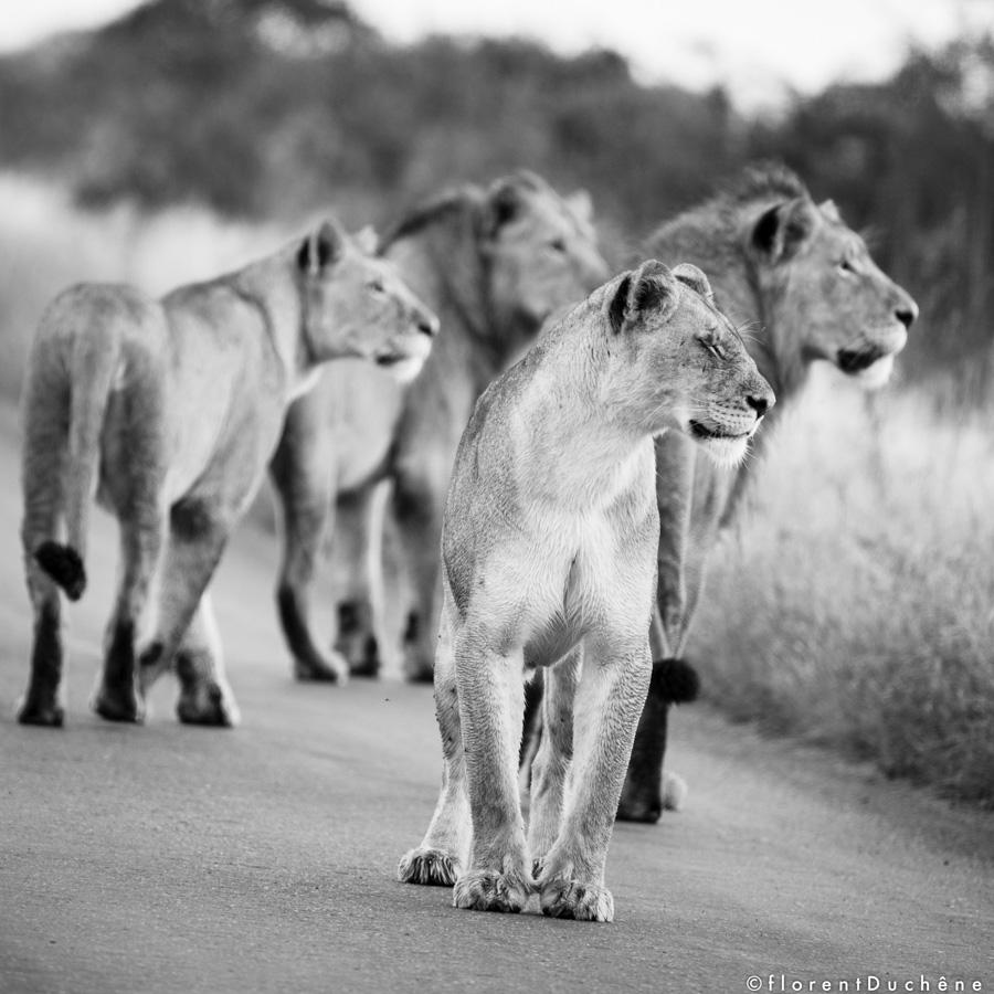 Les Meutes de Lions